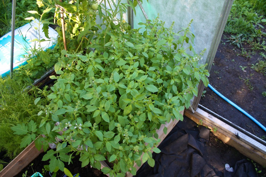 Sitronbasilikumen trives i drivhuset, og holder tomatflua unna.