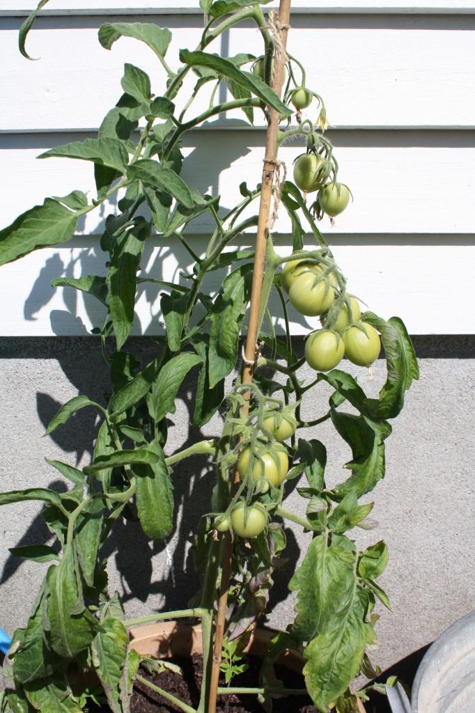 Tomater i solveggen ute