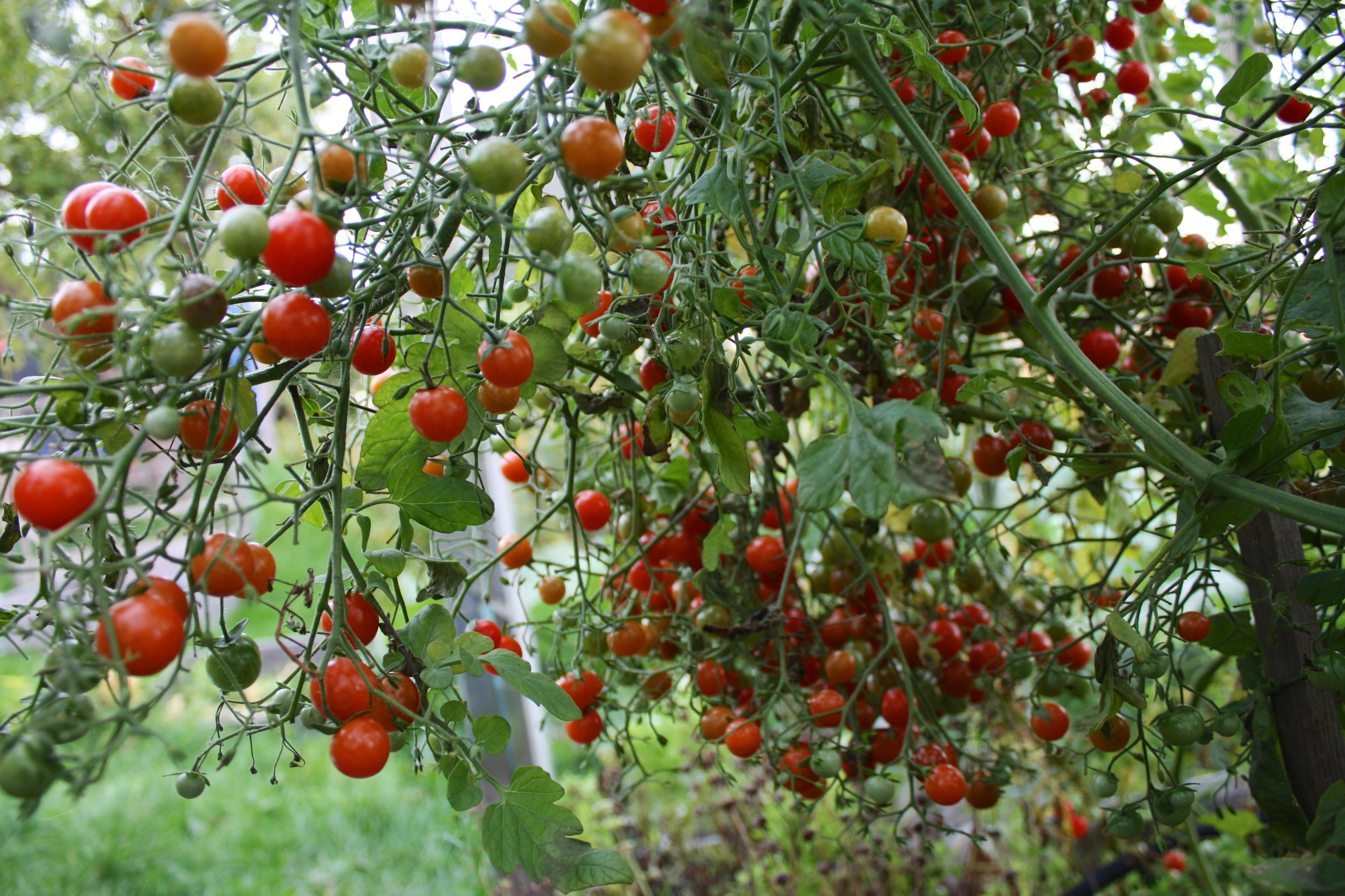 dyrking av urter